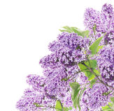 Blooming lilacs  corner border, isolated Royalty Free Stock Photo