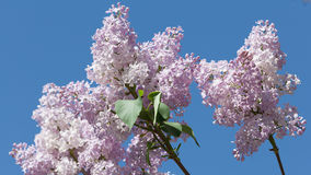 Blooming lilacs Royalty Free Stock Photography