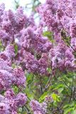 Blooming lilacs. Lilac bush blooming in the garden Stock Photo