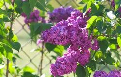 Blooming lilacs Royalty Free Stock Image