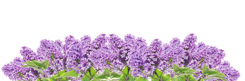 Blooming lilacs panorama, banner, isolated. On white Stock Image