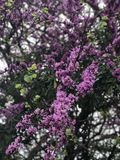 Blooming lilacs on a tree stock photos