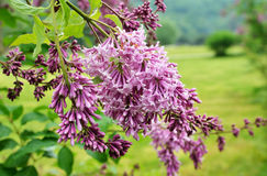 Blooming liliac Royalty Free Stock Image