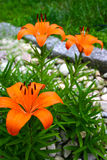 Blooming lilies. Garden lilies in full bloom stock image