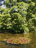 Blooming lilies on the pond royalty free stock photo