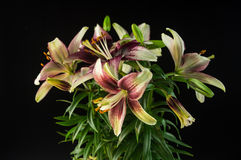 Blooming Lilies Stock Image