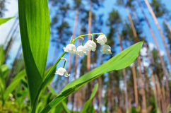 Blooming lilies of the valley Royalty Free Stock Photos