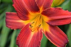 Blooming lilium Stock Image