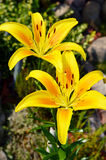 Blooming Lilium in the garden Royalty Free Stock Image