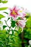 Blooming Lilium in the garden Stock Photos