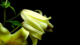 Blooming lily stock footage