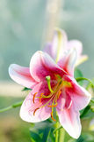 Blooming Lily Flower in Sunlight Garden royalty free stock photography