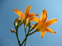 Blooming lily (Hemerocallis) Royalty Free Stock Photo