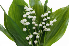 Blooming Lily of the valley Stock Photo