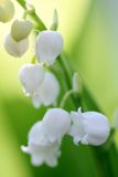 Blooming lily of the valley Royalty Free Stock Image