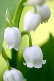 Blooming lily of the valley Stock Photography