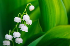 Blooming Lily-of-the-valley Stock Images