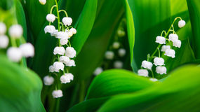 Blooming Lily-of-the-valley Royalty Free Stock Images