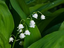 Blooming Lily-of-the-valley, Convallaria majalis, flowers and leaves, macro, selective focus, shallow DOF.  Stock Images