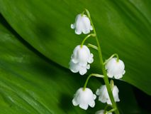 Blooming Lily-of-the-valley, Convallaria majalis, flowers and leaves, macro, selective focus, shallow DOF.  Royalty Free Stock Image