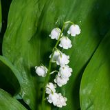 Blooming Lily-of-the-valley, Convallaria majalis, flowers and leaves, macro, selective focus, shallow DOF.  Stock Photo