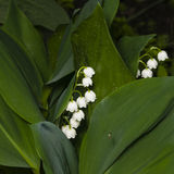 Blooming Lily-of-the-valley, Convallaria majalis, flowers and leaves, macro, selective focus, shallow DOF Stock Images