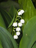 Blooming Lily-of-the-valley, Convallaria majalis, flowers and leaves, macro, selective focus, shallow DOF Stock Photography