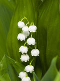 Blooming Lily-of-the-valley, Convallaria majalis, flowers and leaves, macro, selective focus, shallow DOF Stock Photo