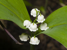 Blooming Lily-of-the-valley, Convallaria majalis, flowers and leaves, macro, selective focus, shallow DOF Stock Image