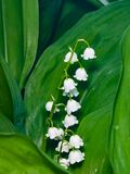 Blooming Lily-of-the-valley, Convallaria majalis, flowers and leaves, macro, selective focus, shallow DOF.  Stock Photography