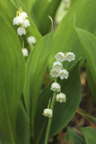 Blooming lily of the valley in the garden Stock Photos