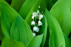 Blooming Lily of the valley in the spring forest. Close up stock photo