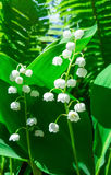 Blooming Lily of the valley. In spring garden Royalty Free Stock Photos