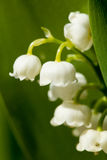 Blooming Lily of the valley in spring garden Royalty Free Stock Photos