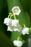 Blooming Lily of the valley in spring garden Stock Photos