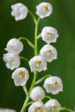 Blooming Lily of the valley in spring garden with shallow focus Stock Photos