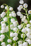 Blooming Lily of the valley in spring garden with shallow focus Stock Photography