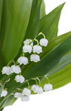 Blooming Lily of the valley Royalty Free Stock Photo