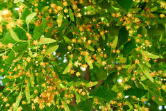 Blooming linden Stock Image