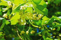 Blooming linden Stock Images