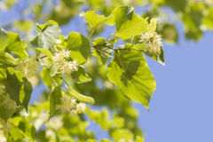 Blooming linden branch Royalty Free Stock Image