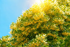 Blooming linden branches Royalty Free Stock Image