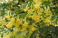 Blooming linden branches with yellow flowers Royalty Free Stock Images
