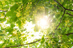 Blooming linden, lime tree in bloom with bees Stock Photos