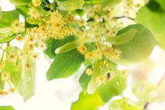 Blooming linden, lime tree in bloom with bees stock photography