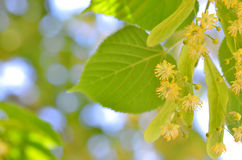 Blooming linden Royalty Free Stock Image