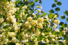 Blooming linden tree stock image