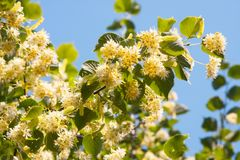 Blooming linden tree royalty free stock image