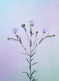 Blooming linen twig, toned Stock Photos