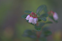 Blooming lingonberry. Cowberry flowers in the Siberian taiga Stock Images